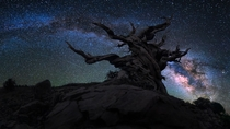 Ancient Bristlecone Pine in Californias Inyo National Forest