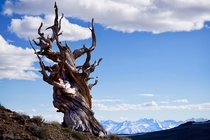 Ancient Bristlecone Pine in the Inyo National Forest CA with the snow capped Sierra Nevada mountain range in the background