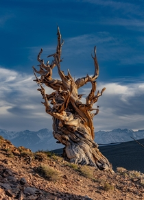 Ancient Bristlecone Pine Tree With The Sierra Nevada in The Background