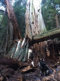Ancient cedar shattered by weather dog for scale