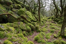 Ancient moss covered stunted oak woodland Piles Copse Dartmoor UK OC  x