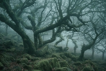 Ancient trees of Wistmans Wood in Dartmoor England