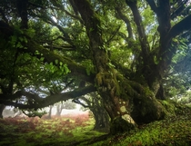 Ancient trees on the island of Madeira Portugal
