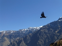 Andean Condor Vultur gryphus flying over Colca Canyon