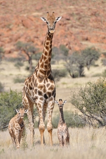 Angolan giraffes -- now identified as the southern giraffe species -- in northwest Namibia The Angolan subspecies was described in  and there are an estimated  individuals in the wild Photo credit Julian Fennessy Giraffe Conservation Foundation GCF