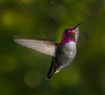 Annas Hummingbird Calypte anna early morning light through trees