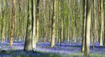 Annual Bluebells carpet  Hallerbos forest Belgium