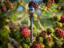 Another dragonfly Anisoptera