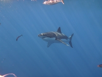 Another Great White Shark picture off the coast of Isla Guadalupe