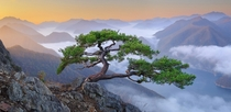 Another Master Oogway Tree Jeolla Province South Korea