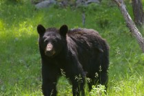 Another shot of the black bear at Yellowstone Ursus americanus