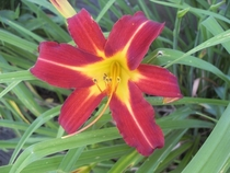 Another variety of day lily x OC