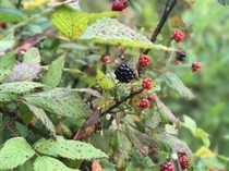 Another view of a blackberry patch in East Tennessee