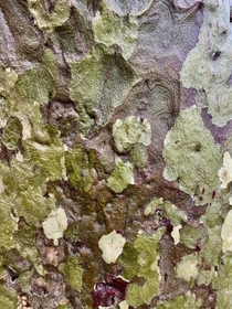 Another Western Sycamore Platanus racemosa bark in the rain image  - I try to find the abstract patterns in nature