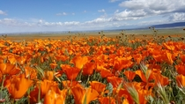 Antelope Valley California Poppy Reserve CA  March rd