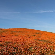 Antelope Valley California Poppy Reserve X