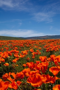 Antelope Valley Poppy fields California