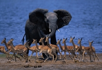Antelopes getting out of the Elephants way