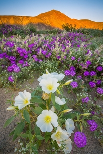 Anza Borrego Desert Wildflower Superbloom - Californias Drought is Over