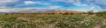 Anza Borrego Wildflower Superbloom