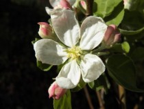 Apple Blossom Malus domestica   x