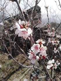 Apricot flowers blooming on the Great Wall of China
