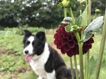 Arabian Night dahlia with a ladybird and my Border Collie Maggie in the background