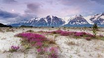Arctic Blooms - St Elias Mountains Alaska