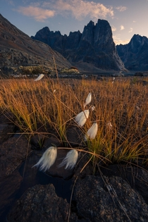 Arctic cotton grass in Tombstone Territorial Park Yukon