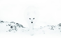 Arctic fox emerges from the mist by Anna Henly