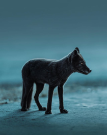 Arctic Fox in its summer coat photo by Benjamin Hardman