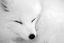 Arctic Fox up close