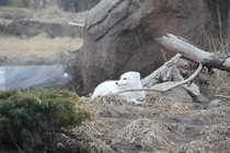 Arctic Fox Vulpes lagopus at the Detroit Zoo