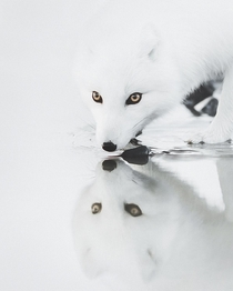 Arctic Fox with piercing eyes Iceland photo by Benjamin Hardman