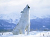 Arctic Wolf  - one of my favorite animals