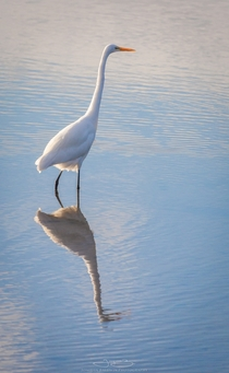 Ardea alba Great Egret in a pristine reflection