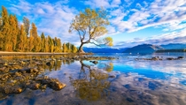 Arguably the most beautiful tree in the world Lake Wanaka New Zealand