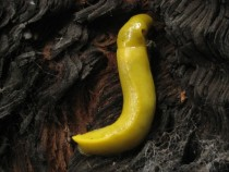 Ariolimax californicus - A banana slug clinging to a charred redwood tree