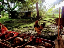 Armando the rooster on a pineapple farm in Costa Rica