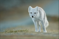 Artic Fox in Norway by Georg Scharf