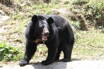Asian black bear Ursus thibetanus in Darjeeling Zoo