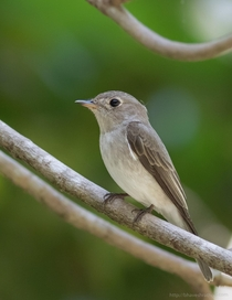 Asian Brown Flycatcher - Muscicapa dauurica -  - Chidiyatapu South Andaman India