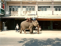 Asian Elephant Elephas maximus in downtown Chiang Mai Thailand