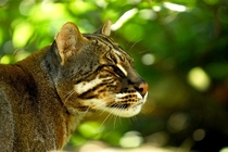 Asian Golden Cat also called the Asiatic golden cat and Temmincks cat Pardofelis temminckii syn Catopuma temminckii