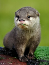 Asian Short-clawed Otter Pup  - x