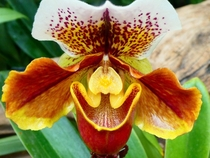 Asian Slipper Orchid Paphiopedilum absolutely beautiful