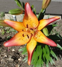 Asiatic Sunset Lilly