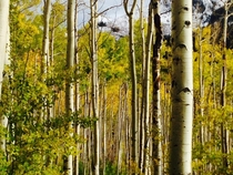 Aspen grove between Independence Pass and Aspen Colorado USA