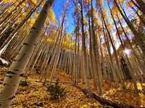 Aspen Grove in October near Flagstaff Arizona USA