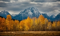 Aspens in autumn Grand Teton National Park Wyoming